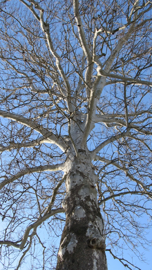 Majestic tree in winter - livingbewitchingly.com